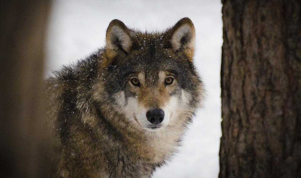 Wolf Predators Wildlife Winter Wolves Zoo