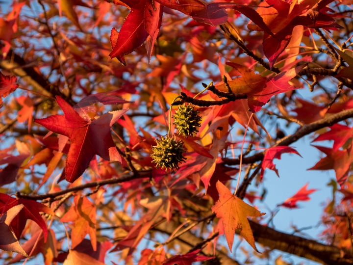 Sweetgum Tree
